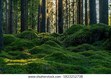 Beautiful pine and fir forest in Sweden with a thick layer of green moss covering the forest floor, some sunlight shining in through the branches Foto stock ©