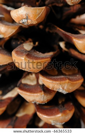beautiful pine cone texture . background
