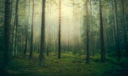 Beautiful pine forest at foggy sunrise. Tree trunks and cold mist