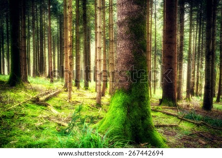 Beautiful pine forest landscape with trees in spring. Camping and tourism concept. (soft focus)