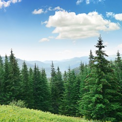 Beautiful pine trees on background high mountains. Carpathians