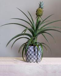Beautiful pineapple plant in pot