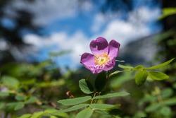 Beautiful Pink Alberta Canadian Wild Rose Provincial Flower. Wild Rose Blooming in Spring Sunlight