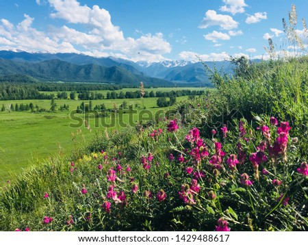 Beautiful pink alpine flowers and the alpine landscape view . Altai mountains in summer time. #1429488617