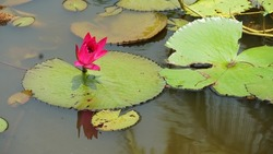 beautiful pink ambal flowers in Kannur. Indian water Lilly flower in Kerala. Nymphaea Nouchali.