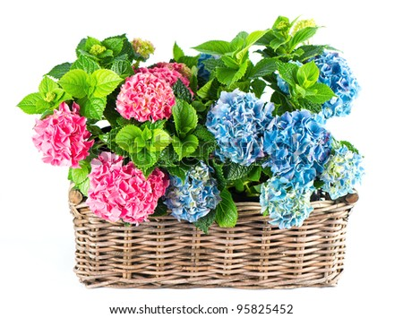 beautiful pink and blue hortensia flowers. colorful hydrangea in basket isolated on white background
