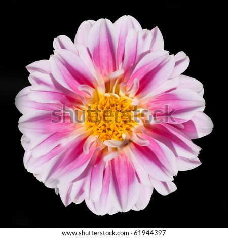 Beautiful Pink and White Dahlia Flower with Yellow Center Isolated on Black Background