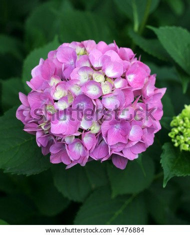 beautiful pink and white hydrangea