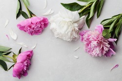 Beautiful pink and white peony flowers on gray stone background with copy space for your text or design, top view, flat lay