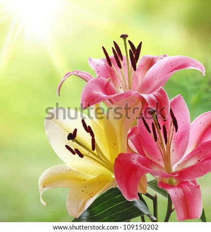 Beautiful Pink and Yellow Lilies in the Morning Sunshine
