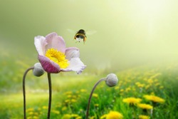 Beautiful pink anemone flower on  spring yellow meadow and flying bumblebee macro on soft blurry light green background. Concept hot summer in sunshine in nature, bright warm soulful artistic image