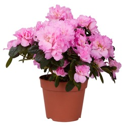 Beautiful pink blooming azalea isolated in pot on white background. Blossoming pink Rhododendron in a flowerpot