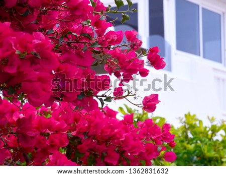 Beautiful pink bougainvillea flowers in the garden of Tenerife,Canary Islands, Spain.Blooming Bougainville.Summer background with copy space.Selective focus.