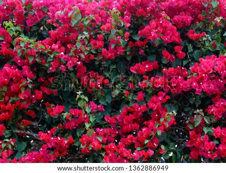 Beautiful pink bougainvillea flowers in the garden of Tenerife,Canary Islands, Spain.Blooming Bougainville.Summer floral background.Selective focus.