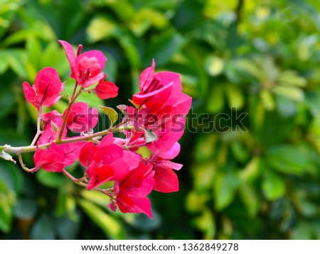 Beautiful pink bougainvillea flowers on a blurred tropical leaves background in the garden of Tenerife,Canary Islands, Spain.Blooming Bougainville.Summer background with copy space.Selective focus.