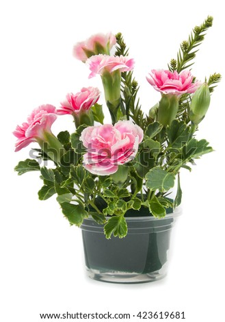 beautiful pink carnations flower isolated on the white background #423619681