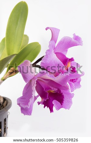 Beautiful pink Cattleya orchid flower isolated on white background