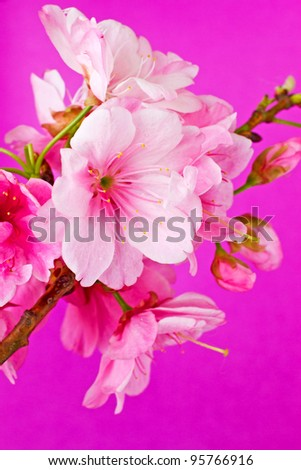Beautiful Pink Cherry Blossom Flowers on a purple background