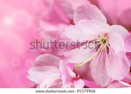 Beautiful Pink Cherry Blossom Flowers with a Springtime Bokeh - stock photo