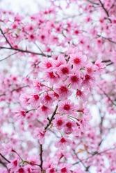 Beautiful pink cherry blossom (Sakura) flower at full bloom