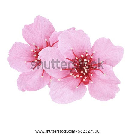 Beautiful Pink Cherry or Cherry Blossom isolated on white background