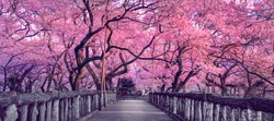 Beautiful pink cherry trees blooming extravagantly at the end of a wooden bridge in Park, Japan, Spring scenery of Japanese countryside with amazing sakura (cherry) blossoms