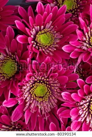 beautiful pink chrysanthemum - stock photo