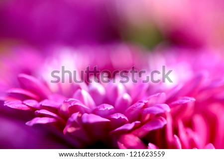 Beautiful pink chrysanthemum flower closeup