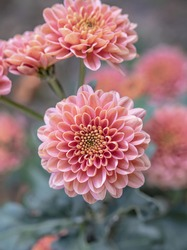 Beautiful  pink chrysanthemums close up in autumn Sunny day in the garden. Autumn flowers. Flower head