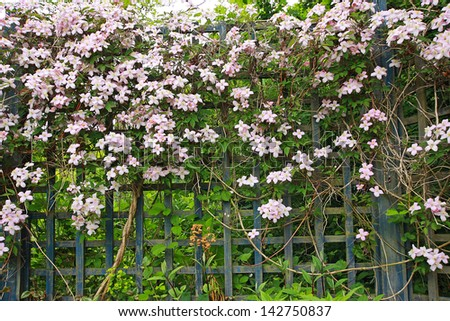 Beautiful, pink clematis on the old, wooden fence