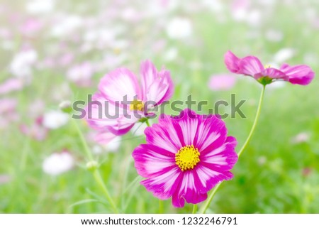 beautiful pink cosmos