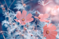 Beautiful pink cosmos flowers in the sunlight on a blue toned background. Delicate abstract nature. Soft selective focus