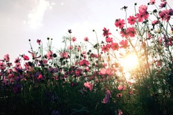 Beautiful pink cosmos  garden with sunlight