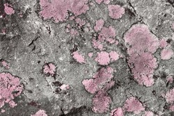 beautiful pink creative aged lichen on boulder texture - abstract photo background
