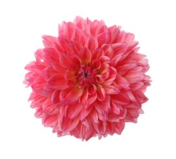 Beautiful pink dahlia flower isolated on white