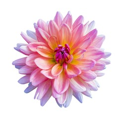 Beautiful pink dahlia flower isolated on white background