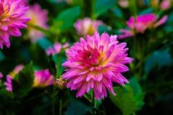 Beautiful pink Dahlia in garden.