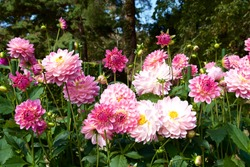 Beautiful pink dahlia in garden. A picture of the beautiful pink dahlia.