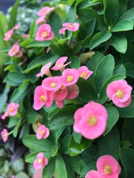 Beautiful pink Description Euphorbia milii (Crown of thorns, Christ plant or Christ thorn) are blooming in the garden