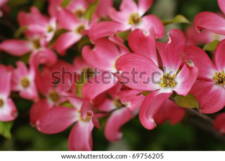 Beautiful pink dogwood blossoms. Closeup with extremely shallow dof. Selective focus on center of closest flower.