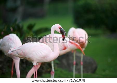 beautiful pink flamingos - stock photo