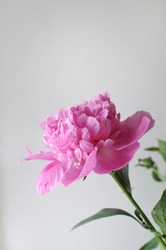 Beautiful pink flourished peony on grey background. Blooming flower gift