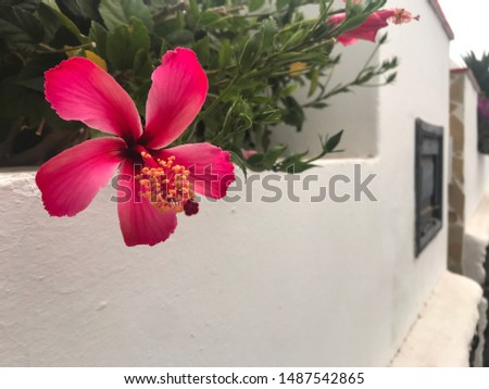 Beautiful pink flower against the white wall. Botany and architecture.