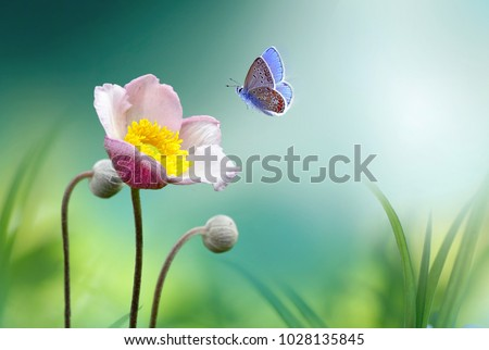 Beautiful pink flower anemones fresh spring morning on nature and fluttering butterfly on soft green background, macro. Spring template, elegant amazing artistic image, free space. #1028135845