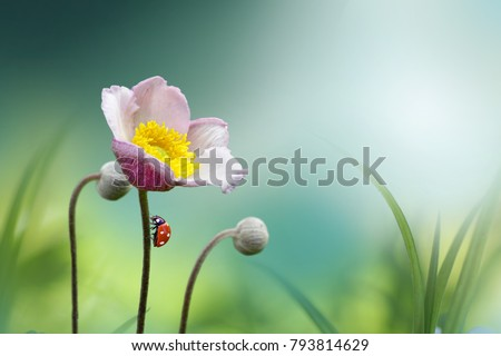 Beautiful pink flower anemones fresh spring morning on nature with ladybug on blurred soft blue green background, macro. Spring template, fabulous elegant amazing artistic image