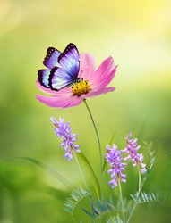 Beautiful pink flower Cosmos bipinnatus and butterfly on natural green-yellow background, close-up, outdoors. Elegant refined image of beauty of nature.