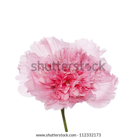 Beautiful pink flower decorative rose
