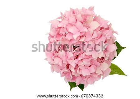 Beautiful pink flower of hydrangea isolated on a white background