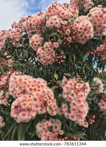 Free photos beautiful pink and white flowering gums with leaves in beautiful pink flowering gum tree in australia 783611344 mightylinksfo