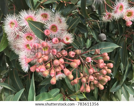 Free Photos Beautiful Pink And White Flowering Gums With Leaves In